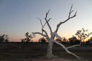 kooma-green-school-murra-murra-dead-tree-sunset-min